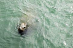 Leone marino Fotografia Stock