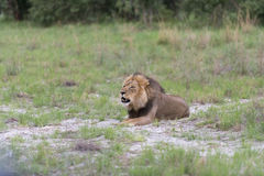 Un leone maschio di urlo Fotografia Stock