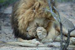 Un leone maschio dominante timido immagine stock