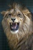 Un leone ringhia dentro la sua recinzione a Berlin Zoo a Berlino in Germania Immagini Stock Libere da Diritti