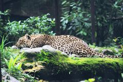 Un leopardo fotografie stock