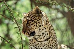 Un leopardo africano en del acacia del árbol un cierre para arriba Fotos de archivo