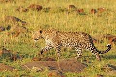 Un leopardo africano isolato che cammina attraverso la savana a Mara masai Fotografie Stock Libere da Diritti