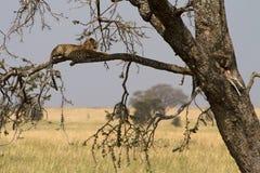 Un leopardo africano in un albero, guardante la sua giovane alimentazione Immagine Stock