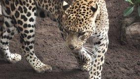 Un leopardo camina en la cámara lenta estupenda