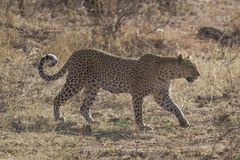 Un leopardo che cammina nel cespuglio nel parco nazionale di Chobe fotografie stock libere da diritti