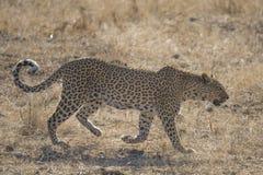 Un leopardo che cammina nel cespuglio nel parco nazionale di Chobe immagine stock libera da diritti