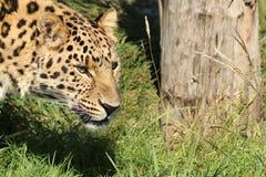 Un leopardo che si concentra sul suo obiettivo seguente Immagini Stock Libere da Diritti