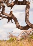 Un leopardo di riposo Fotografia Stock Libera da Diritti