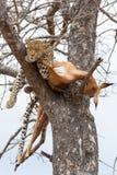Un leopardo femminile che dorme accanto alla sua uccisione dell'impala in albero fotografia stock libera da diritti