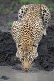 Un leopardo hembra que bebe de una piscina fangosa imagen de archivo