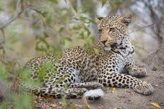 Un leopardo joven que descansa en un árbol fotografía de archivo libre de regalías