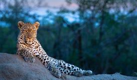 Un leopardo masculino que disfruta de una posición ventajosa en la oscuridad imagen de archivo