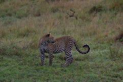 Un leopardo nel prima serata in Tanzania immagini stock