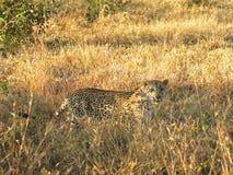 Un leopardo nel Sabie smeriglia il gioco privato Reserv Immagini Stock