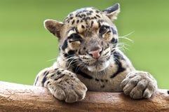 Un leopardo nublado fotos de archivo