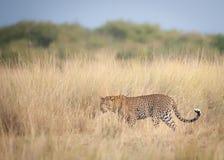 Un leopardo que espera pacientemente el ñu para cruzar el río Nilo durante la migración imagen de archivo libre de regalías