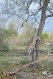 Un leopardo que salta abajo de un árbol alto Foto de archivo