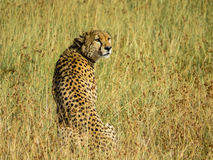 Un leopardo que se relaja en la hierba Fotografía de archivo
