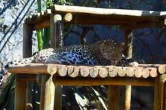 Un leopardo riposa nella tonalità Fotografia Stock Libera da Diritti