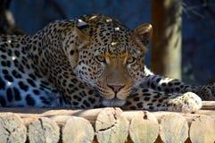 Un leopardo riposa nella tonalità Fotografia Stock