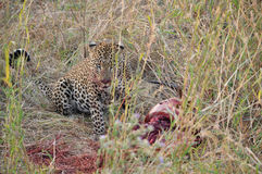 Un leopardo se sienta al lado de una matanza Imagen de archivo