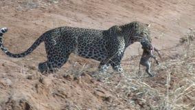 Un leopardo sulla terra archivi video