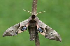 Un lepidottero Immagine Stock Libera da Diritti