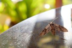 Un lepidottero che prova a volare su una Tabella Fotografie Stock