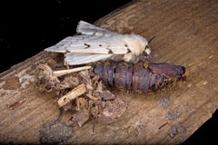 Un lepidottero zingaresco di Femal Immagini Stock