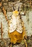 Un lepidottero zingaresco femminile che fa le sue uova Fotografie Stock Libere da Diritti