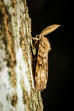 Un lepidottero zingaresco maschio Fotografia Stock Libera da Diritti