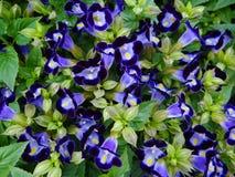 Un letto di bei fiori porpora di Torenia Fotografie Stock Libere da Diritti