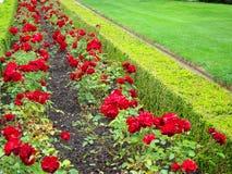 Un letto di fiore delle rose Fotografia Stock Libera da Diritti