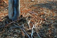 Un letto spesso delle foglie dagli alberi di eucalyptus circonda la base del tronco solo piantato nella terra immagini stock libere da diritti