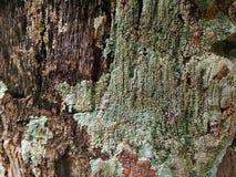 Un lichen images stock
