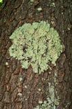 Un lichene foliose verde sulla corteccia nera del ciliegio Immagine Stock