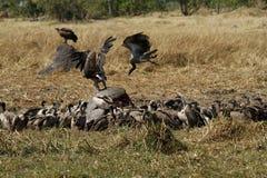 Un lieu de rendez-vous des vautours de Vieux Monde Photos libres de droits