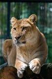 Un liger che osserva da parte Immagini Stock