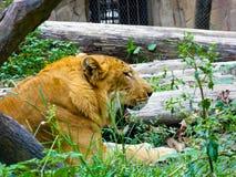 Un liger che si trova sull'erba e sul riposo Fotografie Stock