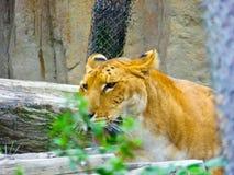 Un liger marchant autour à l'intérieur du parc animalier sauvage de Changhaï Image stock