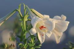 un Lilium blanc regale le 28 juin 2014 image stock