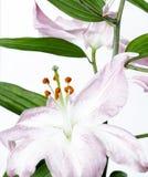 Un liliy mauve-clair image libre de droits
