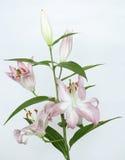 Un liliy mauve-clair sur le gris photo libre de droits
