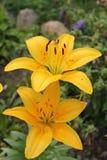 Un Lilly amarillo Fotos de archivo libres de regalías