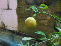 Un limón Foto de archivo