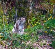 Un lince e denti di leone nella primavera Fotografia Stock