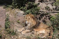 Un lion photographie stock