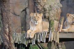 Un lion Photo libre de droits