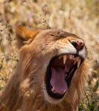 Un lion africain de baîllement Image stock
